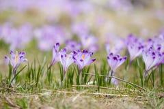 Bei fiori del croco in montagne di Tatry Fotografia Stock Libera da Diritti