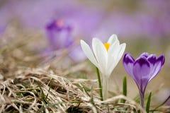 Bei fiori del croco in montagne di Tatry Fotografia Stock