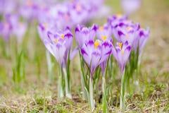 Bei fiori del croco in montagne di Tatry Fotografie Stock