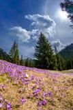 Bei fiori del croco in Tatry Fotografia Stock Libera da Diritti