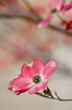Bei fiori del Dogwood con copyspace Fotografia Stock