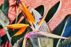 Bei fiori del fiore di strelizia fotografie stock