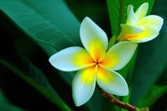 Bei fiori del Frangipani Immagini Stock