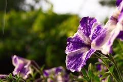 Bei fiori del giardino in pioggia fotografia stock