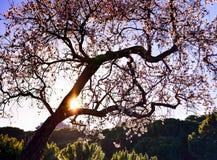 Bei fiori del mandorlo nel giardino Fotografia Stock