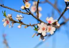 Bei fiori del mandorlo nel giardino Fotografia Stock Libera da Diritti