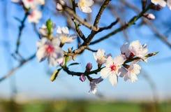 Bei fiori del mandorlo nel giardino Fotografie Stock