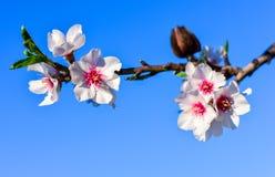 Bei fiori del mandorlo nel giardino Immagini Stock