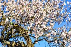 Bei fiori del mandorlo nel giardino Fotografie Stock Libere da Diritti