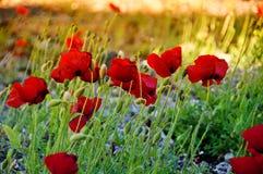 Bei fiori del papavero Immagini Stock