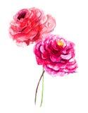 Bei fiori del peony Fotografie Stock Libere da Diritti