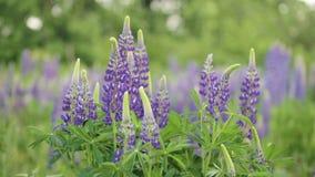 Bei fiori del supporto blu e porpora del lupino sul campo e del movimento nel vento archivi video