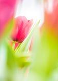 Bei fiori del tulipa Fotografia Stock