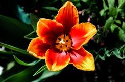 Bei fiori del tulipano rosso fotografia stock libera da diritti