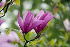 Bei fiori dell'albero della magnolia della molla immagini stock