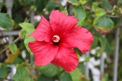 Bei fiori dell'ibisco Fotografia Stock