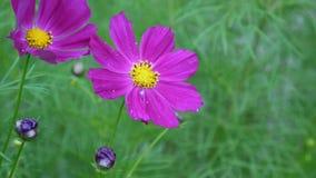 Bei fiori dell'universo sull'aiola Fine in su stock footage