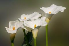 Bei fiori della calla fotografie stock