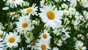 Bei fiori della camomilla Immagine Stock