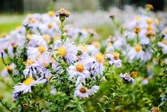 Bei fiori della camomilla porpora fotografia stock