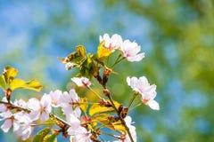 Bei fiori della ciliegia Immagini Stock Libere da Diritti