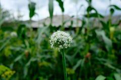 Bei fiori della cipolla bianca Fondo del giardino Fotografia Stock Libera da Diritti