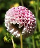 Bei fiori della dalia Immagini Stock