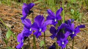 Bei fiori della foresta nel taiga siberiano Khakassia immagine stock libera da diritti