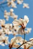 Bei fiori della magnolia con le goccioline di acqua fotografia stock libera da diritti