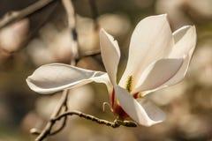 Bei fiori della magnolia con le goccioline di acqua fotografie stock libere da diritti