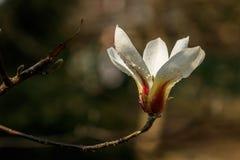 Bei fiori della magnolia con le goccioline di acqua immagini stock