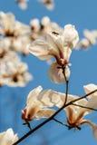 Bei fiori della magnolia con le goccioline di acqua fotografia stock