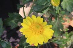Bei fiori della margherita che fioriscono nel giardino con il fondo del bokeh o defocused Copi lo spazio per testo o esprima immagine stock libera da diritti