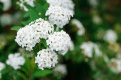 Bei fiori della molla nel bianco Immagine Stock Libera da Diritti