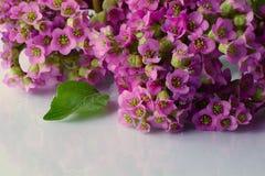Bei fiori della molla su bianco immagini stock libere da diritti