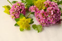 Bei fiori della molla su bianco fotografia stock libera da diritti