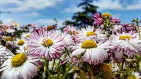 Bei fiori della natura dell'Iran Fotografia Stock
