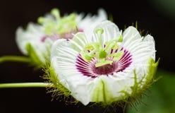 Bei fiori della passiflora commestibile Immagine Stock