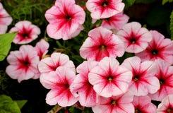 Bei fiori della petunia Immagini Stock