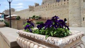 Bei fiori della petunia blu in fiore-letto sulla via contro lo sfondo della parete di vecchia città di Bacu archivi video