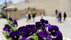 Bei fiori della petunia blu in fiore-letto sulla via di Bacu, Azerbaigian stock footage