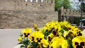 Bei fiori della petunia gialla in fiore-letto sulla via contro lo sfondo della parete di vecchia città di archivi video