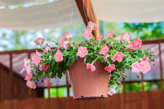 Bei fiori della petunia in vaso di fiore d'attaccatura Fotografia Stock Libera da Diritti