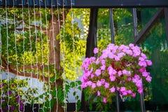 Bei fiori della petunia in vaso di fiore d'attaccatura Fotografie Stock