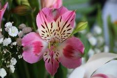 Bei fiori della PIANTA di ALSTROEMERIA del giglio peruviano Immagini Stock Libere da Diritti
