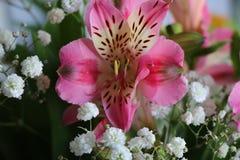 Bei fiori della PIANTA di ALSTROEMERIA del giglio peruviano Immagine Stock