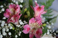 Bei fiori della PIANTA di ALSTROEMERIA del giglio peruviano Fotografia Stock Libera da Diritti