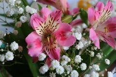 Bei fiori della PIANTA di ALSTROEMERIA del giglio peruviano Fotografie Stock