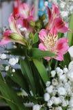 Bei fiori della PIANTA di ALSTROEMERIA del giglio peruviano Fotografie Stock Libere da Diritti