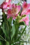 Bei fiori della PIANTA di ALSTROEMERIA del giglio peruviano Immagine Stock Libera da Diritti